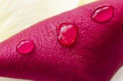 Rood bloemblaadje met waterdrops Stock Foto's