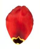Rood bloemblaadje van tulp stock afbeelding