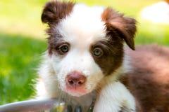 Rood border collie-puppy Royalty-vrije Stock Foto