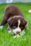 Rood border collie-puppy Stock Afbeelding