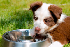 Rood border collie-puppy Stock Foto