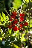 Rood Cherry Tomatoes Backlit By Sunlight stock fotografie