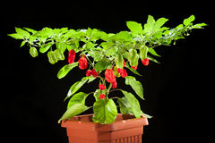 Rood Chili Pepper Royalty-vrije Stock Afbeelding