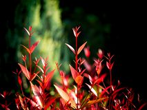 Rood Christina Leaves Growing stock afbeelding
