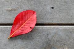 Rood de amandelblad van Bengalen op houten vloer Stock Afbeelding