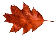 Rood de herfst eiken blad stock afbeelding