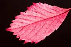 Rood de herfstblad royalty-vrije stock afbeelding
