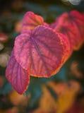Rood de herfstblad met onscherpe achtergrond Royalty-vrije Stock Afbeeldingen