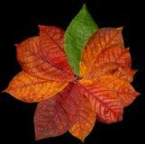 Rood de herfstblad op een zwarte Stock Foto's