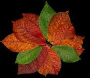 Rood de herfstblad op een zwarte Stock Afbeeldingen