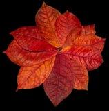 Rood de herfstblad op een zwarte Royalty-vrije Stock Afbeelding