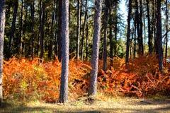 Rood de herfstgebladerte Stock Afbeelding