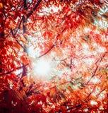Rood de herfstgebladerte met zon backlight De bladeren van dalingsbomen in tuin of park, openluchtaard Stock Fotografie