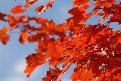 Rood de herfstgebladerte tegen blauwe hemel Stock Fotografie