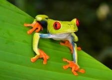Rood de kikker groen blad van de oogboom, cahuita, Costa Rica stock foto's