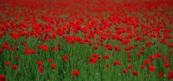 Rood de nandoesgebied van de papaverPapaver dat op groen wordt geprofileerd Royalty-vrije Stock Fotografie