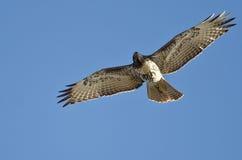 Rood-de steel verwijderd van Hawk Searching de Hemel aangezien het vliegt stock fotografie