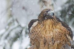 Rood De steel verwijderd van Hawk In The Snow Stock Foto's