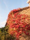 Rood die dode droge de herfstbladeren op huismuur hangen buiten huis Stock Foto
