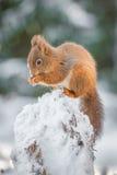 Rood die eekhoornkatje op gevallen boom wordt neergestreken Stock Foto's