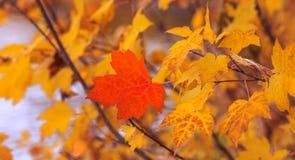 Rood die esdoornblad op achtergrond van anderen gele bladeren wordt geïsoleerd N stock foto