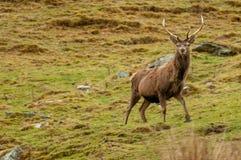 Rood die Hertenmannetje op de Hooglanden van Schotland wordt bevlekt stock foto