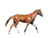 Rood die paard op wit portret wordt geïsoleerd Royalty-vrije Stock Afbeeldingen