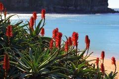 Rood die tropische installatie bloeien bij strandbaai royalty-vrije stock foto