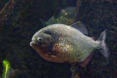 Rood-doen zwellen piranha die in water zwemmen Royalty-vrije Stock Afbeelding