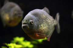 Rood-doen zwellen piranha (Pygocentrus-nattereri) Stock Foto's