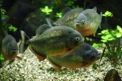Rood-doen zwellen piranha (Pygocentrus-nattereri) Royalty-vrije Stock Afbeeldingen