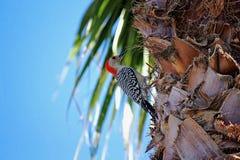Rood-doen zwellen Specht in een Palm Stock Fotografie