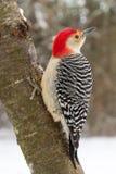 Rood-doen zwellen Specht (mannetje) in de sneeuw Royalty-vrije Stock Afbeeldingen