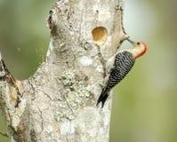 Rood-doen zwellen woodpeckerr bij nestgat Royalty-vrije Stock Foto