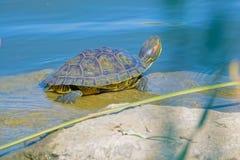 Rood-eared schildpad royalty-vrije stock foto's