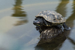 Rood-eared schildpad Stock Fotografie
