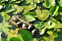 Rood-eared schildpadden, waterleliebladeren stock afbeelding