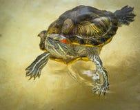 Rood-eared schildpadvlotters op de oppervlakte van het water Royalty-vrije Stock Foto's