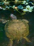 Rood-eared schuifschildpad Stock Afbeelding
