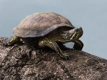 Rood-eared schuifschildpad Stock Afbeeldingen