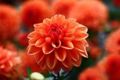 Rood een dahlia Royalty-vrije Stock Foto