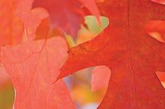 Rood Eiken Blad in de Herfst royalty-vrije stock afbeelding