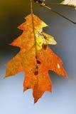 Rood eiken blad in de herfst royalty-vrije stock fotografie
