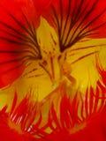 Rood en de Oostindische kers Tropaeolum van de Bloem Yelllow Stock Foto
