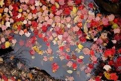 Rood en Geel Autumn Leaves Floating in Water Stock Foto