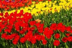 Rood en geel tulpengebied Stock Foto