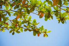 Rood en groen Malabar-amandelblad tegen blauwe hemel Stock Foto