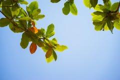 Rood en groen Malabar-amandelblad tegen blauwe hemel Stock Foto's