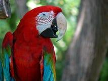 Rood en Groen Zuidamerikaans Papegaaiprofiel Stock Foto's