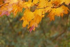 Rood en het gele blad van de de herfstesdoorn Royalty-vrije Stock Afbeelding